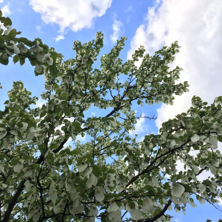 Davidia - The Handkerchief Tree